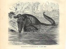 Stampa antica COCCODRILLO MARINO Crocodylus porosus 1891 Old antique print