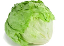 LETTUCE ICEBERG Lactuca sativa crisp salad plants – 6cell seedling punnet
