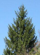 70 Samen der Kaukasus-Fichte (Picea orientalis), gut als Bonsai, Orient-Fichte