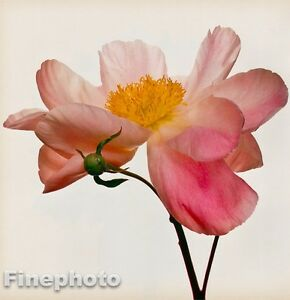 1968/80 IRVING PENN Vintage FLOWER Botanical Art PEONY Photo Engraving Art 16x20