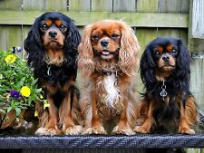 One The Trio Cavalier King Charles Spaniel blank note card