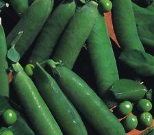 Vegetable - Pea - Onward - 1200 Seeds - Bulk