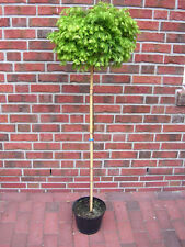 Metasequoia Matthaei, Stämmchen, Kugelmammutbaum, Höhe: 160-170 cm + Dünger