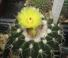 Parodia langsdorfii exotic cacti flowering aloe  notocactus rare cactus 25 SEEDS