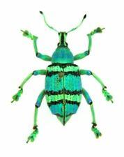Grün Käfer Megafonia Adolphinae x1 Fixiert Insekt Schrank Bereit 0jw