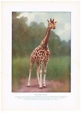 Antique Color Plate Lithograph ~ Northern Giraffe ~ 1917 Mammals of Other Lands