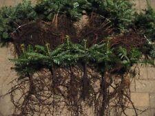 Abies nordmanniana Tlugi 4j 50 St Nordmanntanne Tanne  Weihnachtsbaum Christbaum