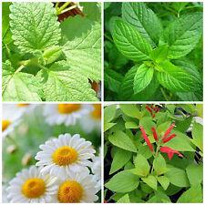 4 flavours TEA PACK – Lemon Balm, Peppermint, Chamomile, Sage plants – seedlings