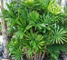25 x Licuala Spinosa graines palétuvier Fan Palm