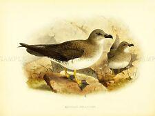 DRAWING BIRD ROWLEY KEULEMANS BLACK BREAST PETREL ART PRINT LAH342A