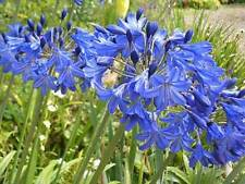 Agapanthus Africanus ' Blue ' - 50 Seeds - Lily of the Nile
