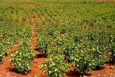 Jatropha curcas Barbados Nut 25 seeds