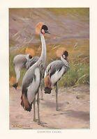 C1914 Natural History Estampado ~ Coronado Crane ~ Lydekker
