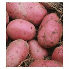 Disease Resistant Red Pontiac Seed Potatoes Perfect for Fall Planting 5 lbs