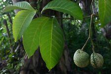 500 Samen Voacanga africana, trockene Samen, Verwandt mit Tabernanthe iboga