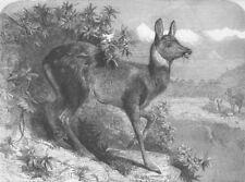 DEER. Musk deer, antique print, 1862