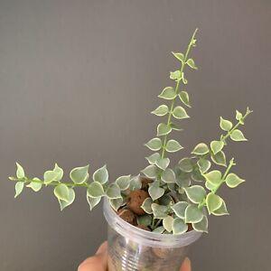 Dischidia ruscifolia albomarginata