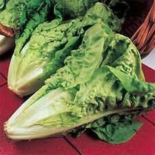 Lettuce Parris Island Romaine Heirloom Vegetable BULK 40,000 Seeds