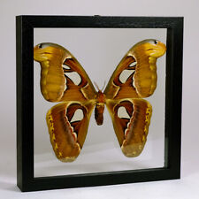 Real taxidermy butterfly mounted in double glass frame - Attacus Atlas