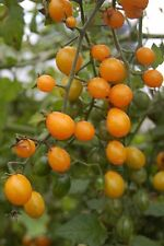Cuban Golden Grape Tomato - 10+ seeds - EXCEPTIONAL and SWEET!