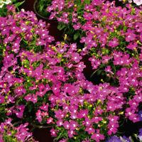 Pack x6 Orange Lotus Flower Berthelotii Summer Garden Basket  Plug Plants
