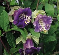 Flower Seeds Cathedral Bells Purple Cobaea scandens Annual Climbing Vine