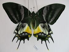 PA3027. Unmounted butterflies: Teinopalpus eminens. South Vietnam
