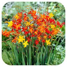 Crocosmia Small Flowering Bulb Mix x 25 orange yellow red