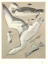 VINTAGE BIRD PRINT ~ RED THROATED DIVER
