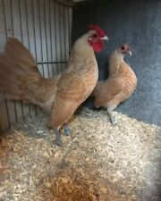 6 X CHAMOIS SEBRIGHT HATCHING EGGS. RARE COLOUR IN THE UK