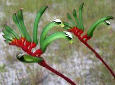 F0257 Kangaroo Paw x30 seeds Anigozanthos Manglesii Native