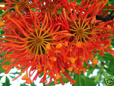 Firewheel Tree - Spectacular Flowerer Rainforest Small Tree Protea Family