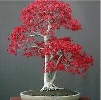 Red Japanese Maple Tree Bonsai Seeds (20 Seeds)