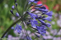 Agapanthus Bristol  dark blue flowers, good hardy garden plant