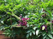5 Evergreen Wisteria Seeds Bright Pink Vine Climbing Flower Perennial Seed 685