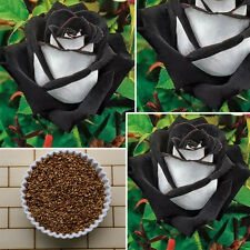 200Pcs Rare Black&White Rose Flower Seeds  Home Garden Plant Nice