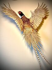 Ring Necked Pheasant, Flushing Mount, Pheasant Taxidermy