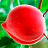 Bonanza Peaches Peach Tree Garden Fruit Bonsai Plants Free Shipping 10 PCS Seeds