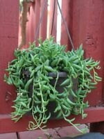 "String Of Bananas aka Senecio radicans Live Plant Fit 6"" Pot Easy to Grow"