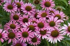 Coneflower Echinacea purpurea  Approx 120 seeds 0.5g