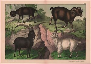 Wild & Domestic Goats, Cashmere, antique chromolithograph, print, original 1887