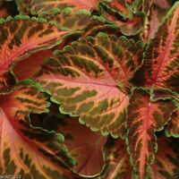 Coleus Seed: Wizard Coral Sunrise Coleus Seeds 40 Seeds  Fresh Seed  FREE Ship
