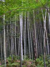 TOP Bambù gigante MOSO bambù Phyllostachys edulis 20 Semi freschi/Semi