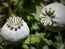 Pavot à opium - pavot somniferum - Pavot bleu - Portion mit 250 Graines