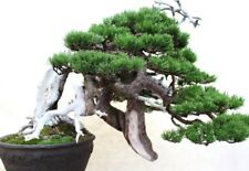 Ponderosa pine tree, ideal Bonsai starter tree! Sapling, worlds tallest pine!