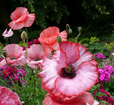 Papaver rhoeas Nacre - 2000 graines-Annuel Poppy Flower