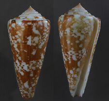 Seashells Conus thomae 80mm F++ VERY LARGE deep water marine specimen very rare