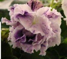 African Violet Le Aisedora - Starter Plant/Plug