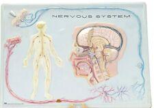 "Vintage 1970s Hubbard Scientific 3-D 'Nervous System' Classroom Display! 24x18"""