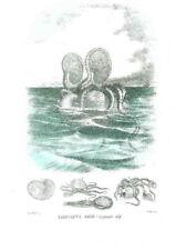 "Litografia MOLLUSCHI ""Argonauta Argo"" R. Petraroja 1863/1879"